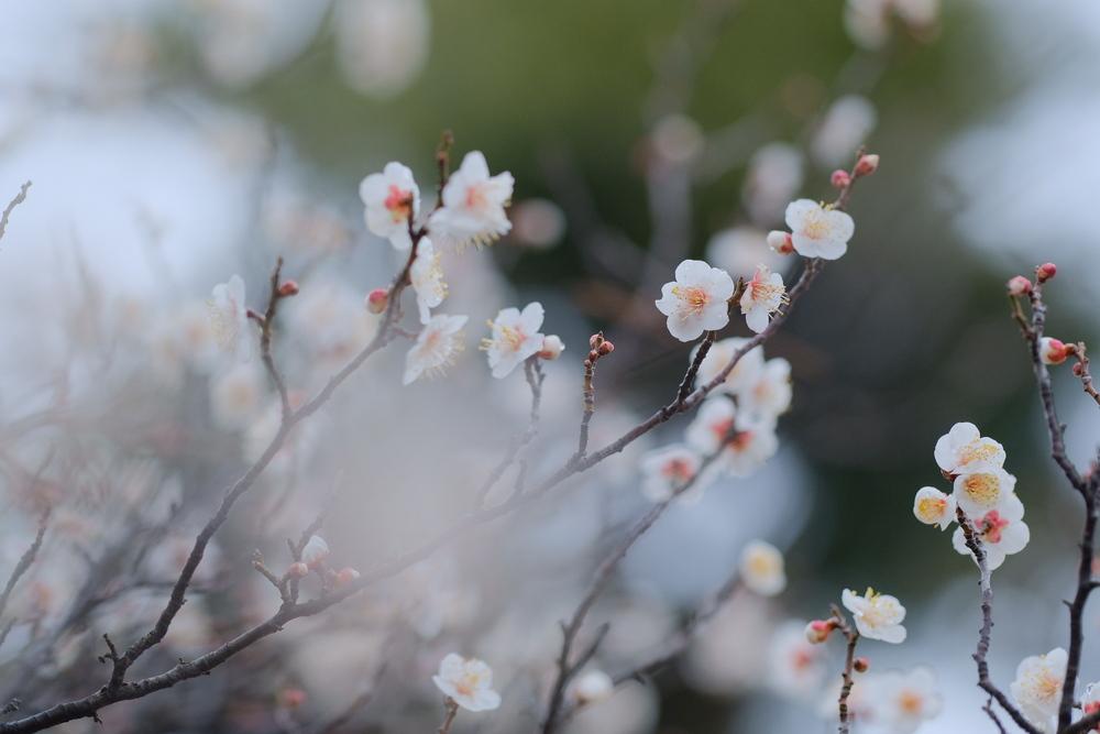梅の花 マニュアルフォーカス