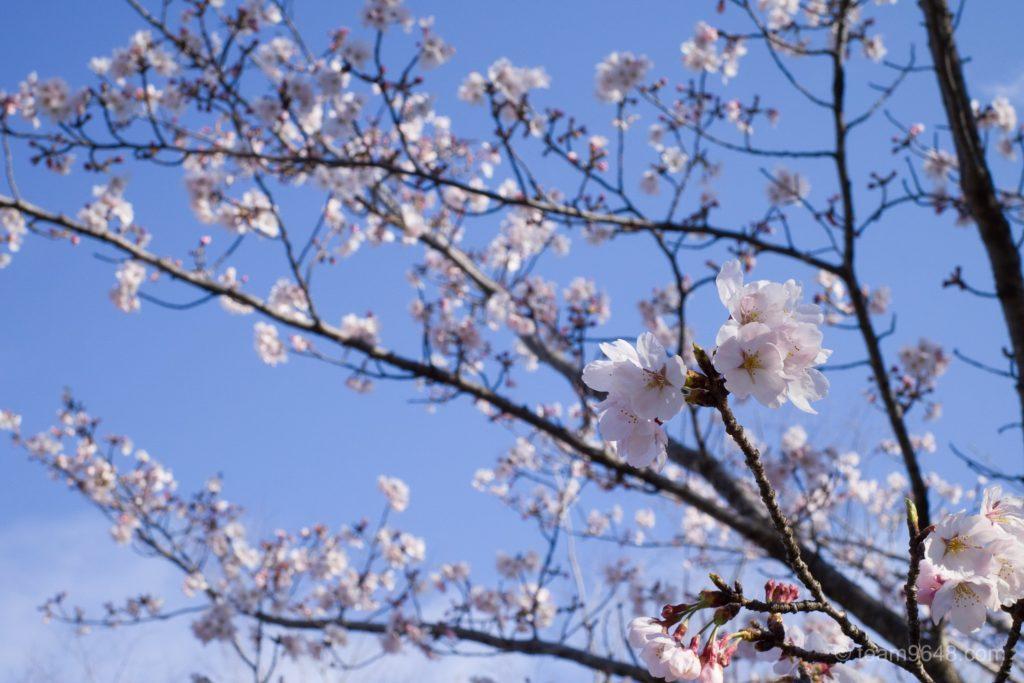 GR3 桜