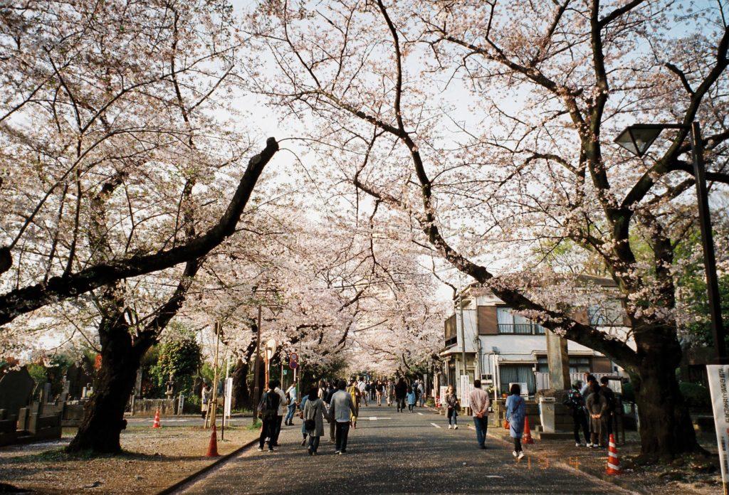 ナチュラ 作例 谷中霊園 桜