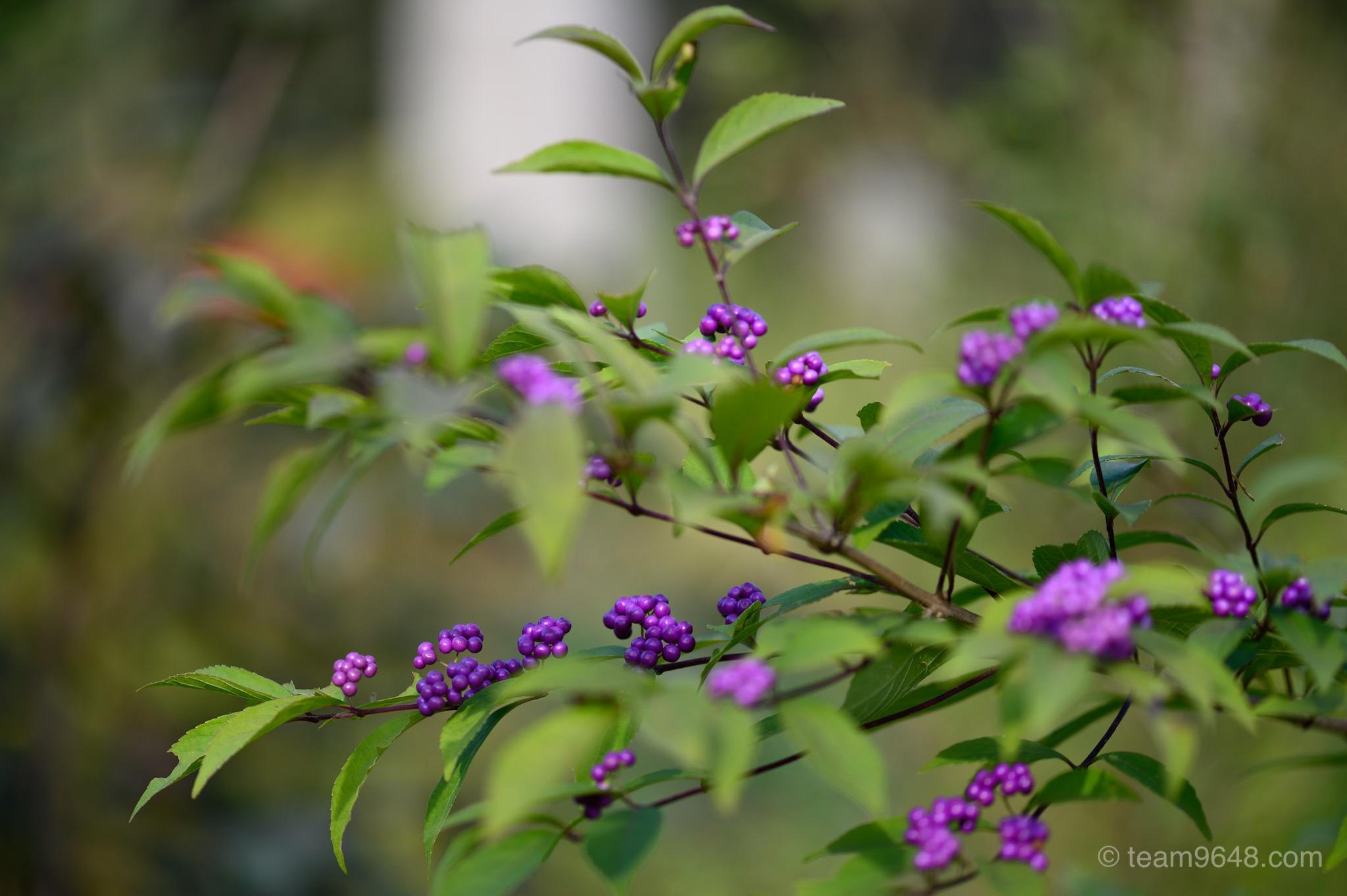 泉自然公園 紫式部