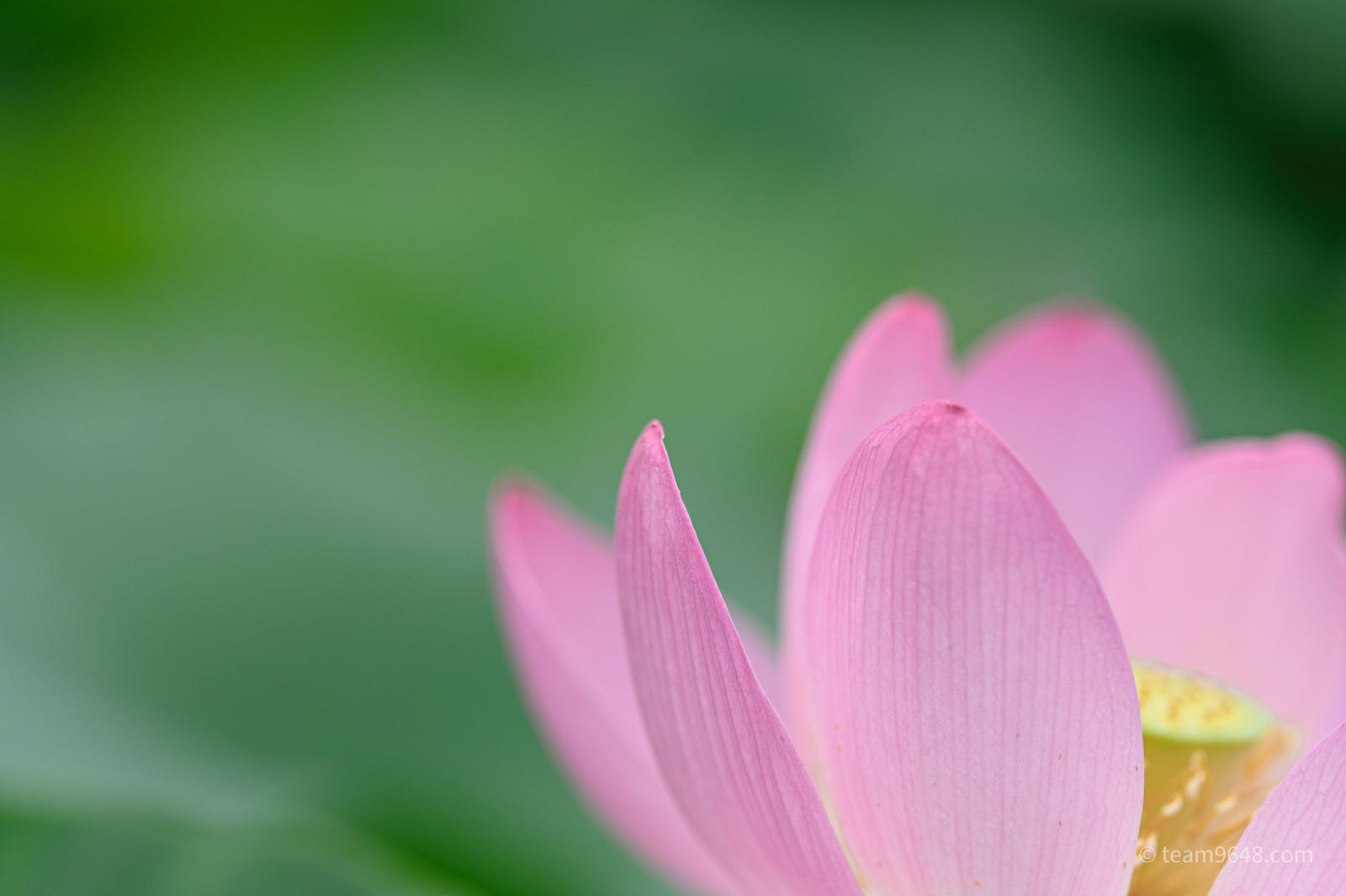 こってりと大賀蓮(Nikon Z6 / Sigma 135mm)