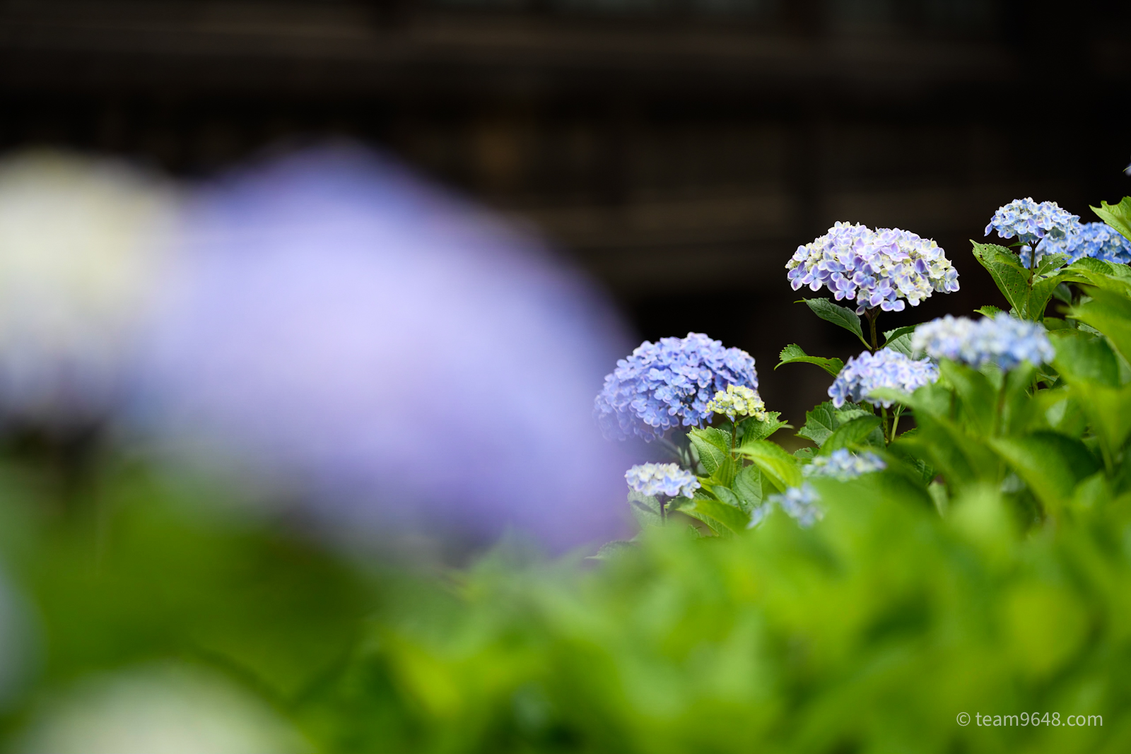 宗吾霊堂で紫陽花撮ったよ(2021/6/5)